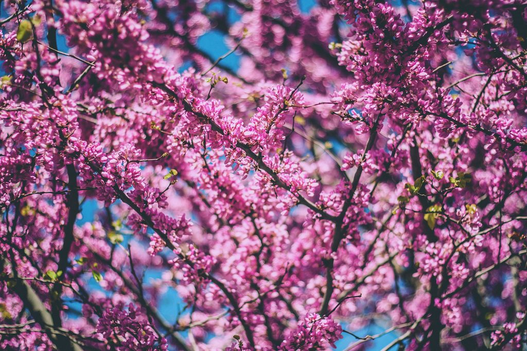 Spring, when latent heat can emerge