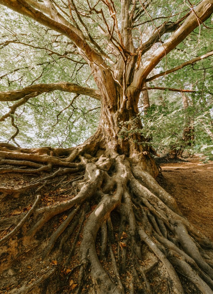Tree Roots - symbols of deep yin reserves needed to cope with fever.