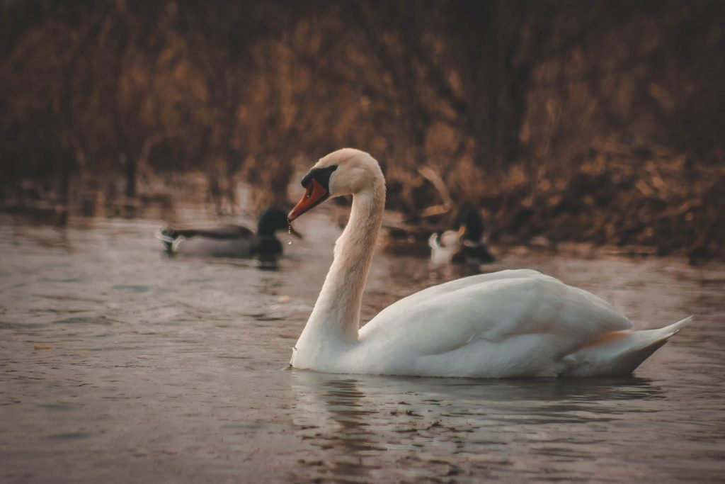 swan swimming on lake, its legs like the action of the Spleen channel