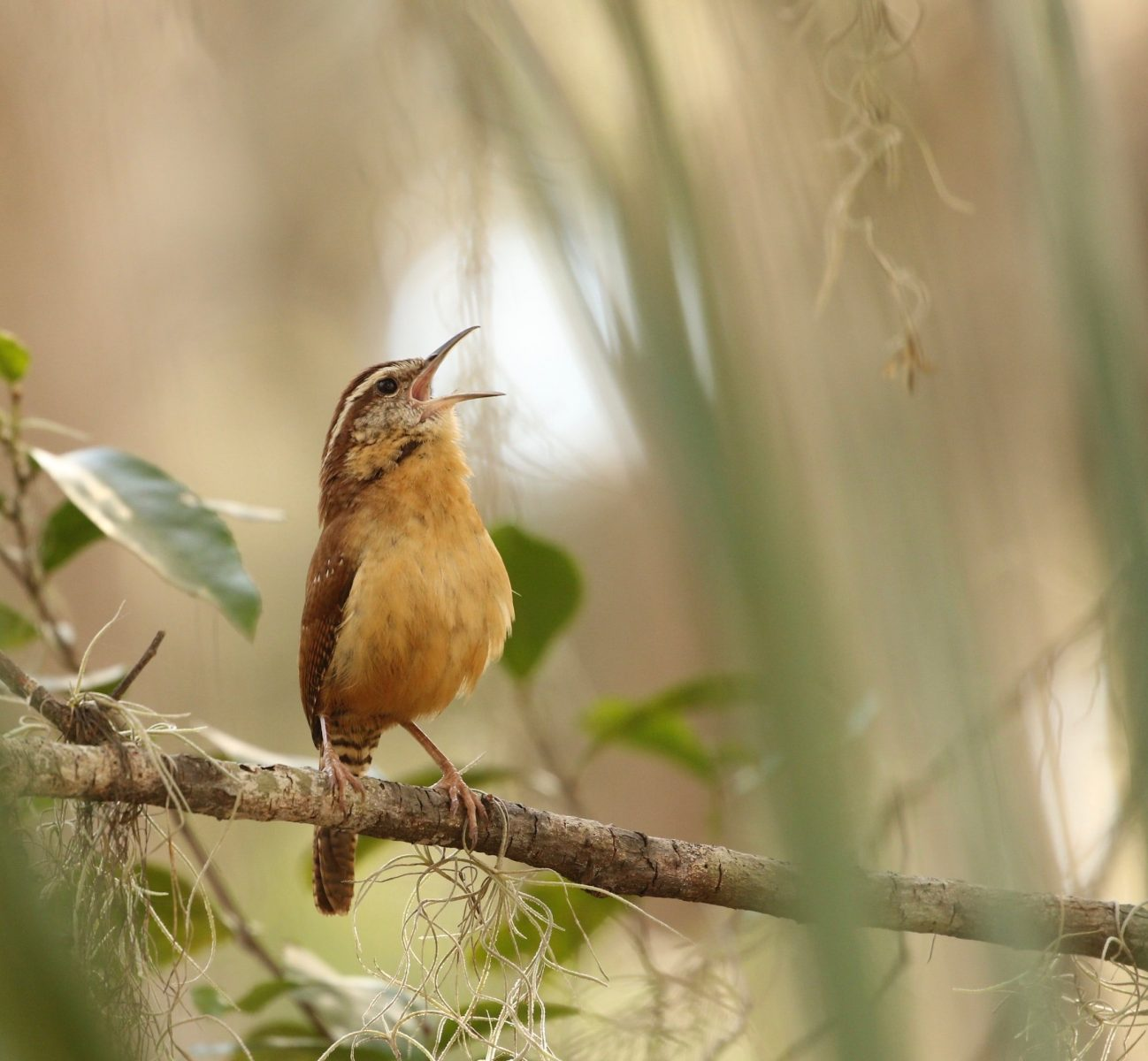 Robin singing: selective focus photography of yellow and brown bird standing on tree branch during daytime